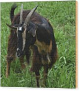 Adorable Goat In A Field With Thick Green Grass Wood Print