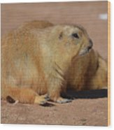 Adorable Pair Of Chubby Black Tailed Prairie Dogs Wood Print