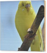 Adorable Yellow Budgie Parakeet Bird Close Up Wood Print