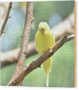 Adorable Yellow Budgie Parakeet Relaxing In A Tree Wood Print