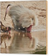 Adult Baboon And Baby Together On The Waterfront  Wood Print