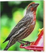 Adult Male House Finch Wood Print