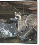 Adult Raccoon Hunting Wood Print