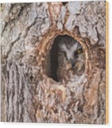 Adult Saw-whet Owl Wood Print