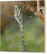 Aeshna Mixta Dragonfly Wood Print