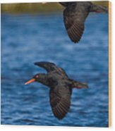 African Black Oystercatchers Wood Print