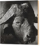 African Buffalo Bull Close-up Wood Print