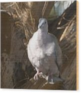 African Collared Dove 3 Wood Print