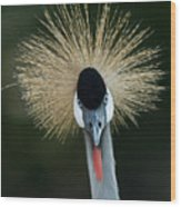 African Crowned Crane At The Omaha Zoo Wood Print