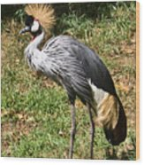 African Crowned Crane Poising Wood Print