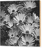 African Daisies In Black And White Wood Print