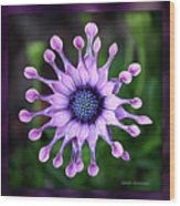 African Daisy - Hdr Wood Print