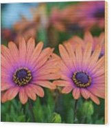 African Daisy Twins Wood Print