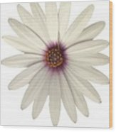 African Daisy With White Petals Wood Print