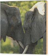 African Elephants Loxodonta Africana Wood Print