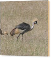 African Grey Crown Crane Wood Print