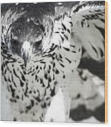 African Hawk Eagle 2 Wood Print