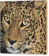 African Leopard Panthera Pardus Captive Wildlife Rescue Wood Print