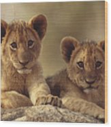 African Lion Cubs Resting On A Rock Wood Print