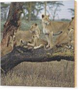 African Lion Panthera Leo Family Wood Print