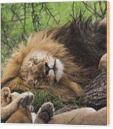 African Lion Sleeping In Serengeti Wood Print
