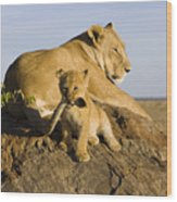 African Lion With Mother's Tail Wood Print by Suzi Eszterhas