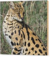 African Serval In Ngorongoro Conservation Area Wood Print