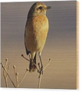 African Stone Chat Female Wood Print
