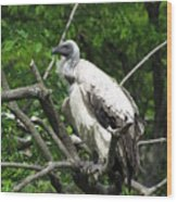 African Vulture Wood Print
