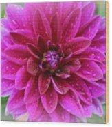 After The Rain - Purple Dahlia Wood Print