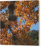 Afternoon Light On Maple Leaves Wood Print