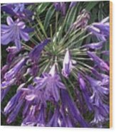 Agapanthus Flowers In Purple - New And Old Wood Print