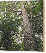 Agathis Borneensis Tree Wood Print