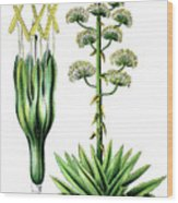 Agave Americana, Common Names Century Plant, Maguey Or American  Wood Print