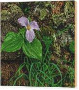 Aged White Trillium With Raindrops Wood Print