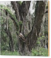 Aging Oak Tree Wood Print