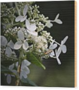 Ailanthus Webworm Moth 2 Wood Print
