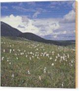 Alaska Cotton Eriophorum Scheuchzeri Wood Print