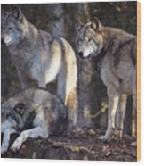 Alaska Wolf Trio Wood Print