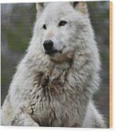 Alawa The Wolf Rests Wood Print