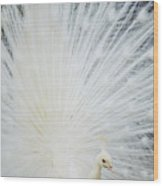 Albino Peacock Wood Print