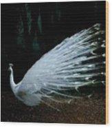 Albino Peacock Wood Print