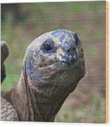 Aldabra Giant Tortoise's Portrait Wood Print