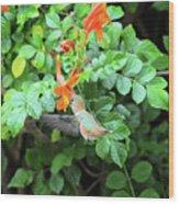 Allen's Hummingbird In Cape Honeysuckle Wood Print