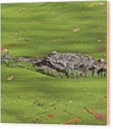 Alligator In Sun Wood Print