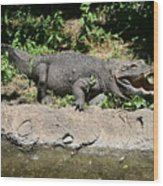 Alligator Surprise Wood Print