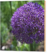 Allium Gladiator Closeup Wood Print