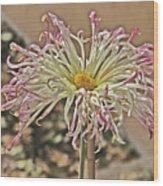 Allium Sunburst Pink/purple Tips On White Petals Yellow Center 2 10232017 Colorado  Wood Print