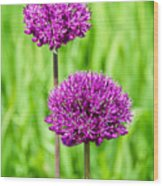 Alliums Wood Print
