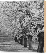 Springtime In The Almond Fields Wood Print
